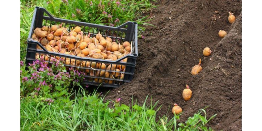 Основные ошибки при посадке картофеля