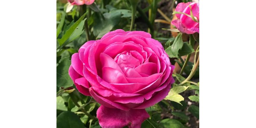 Весенняя подкормка роз
