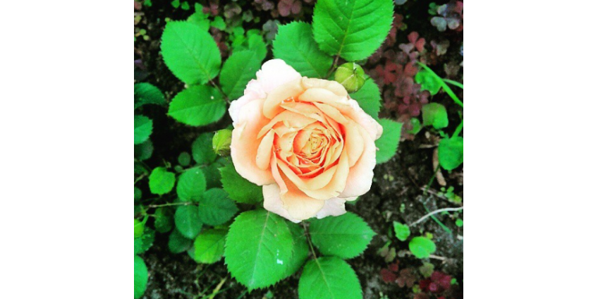 Правильное удобрение для роз